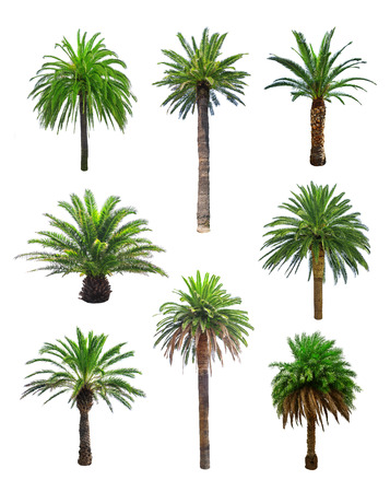 palm tree isolated on white Banco de Imagens