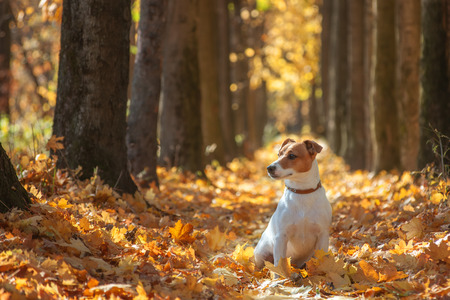 jack russel on autumn alley