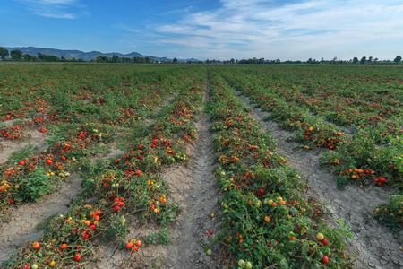 tomates: champ de tomates sur la journ�e d'�t�