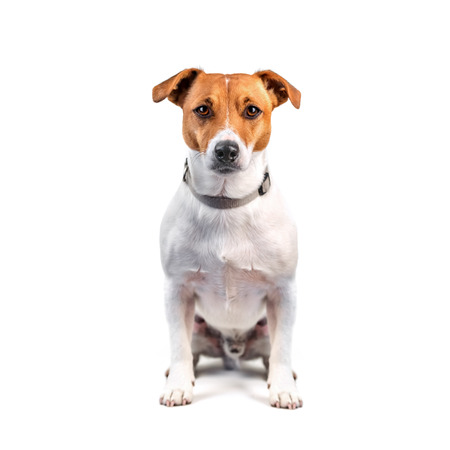 jack russel isolated on white