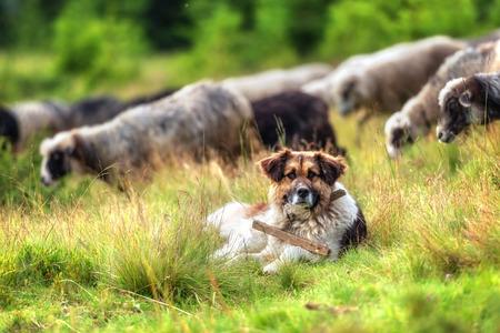 茶色の羊飼いの犬をクローズ アップ