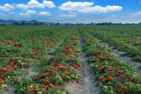 produces: tomato field on summer day Stock Photo