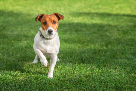 russell: jack russel on green lawn