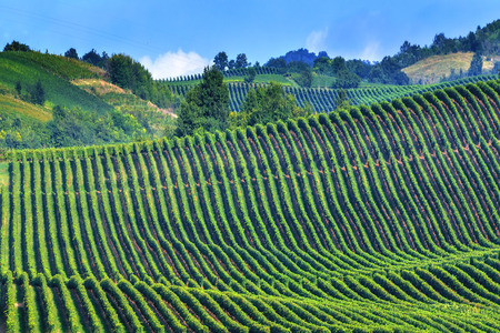 italian landscape: green vineyard on italy closeup
