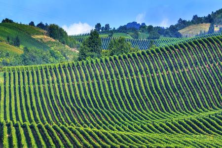 green vineyard on italy closeup