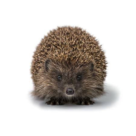 hedgehog: young hedgehog isolated on white