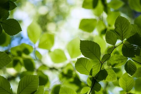 beech leaf: new beech leaf in morning forest Stock Photo