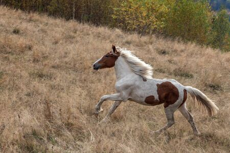 hurrying: hurrying wild horse on autumn field