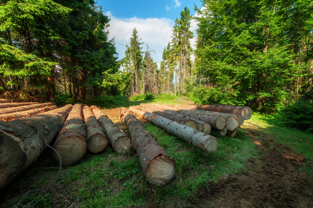 coniferous forest: pine log in coniferous forest