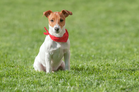 perky: jack russel on green lawn