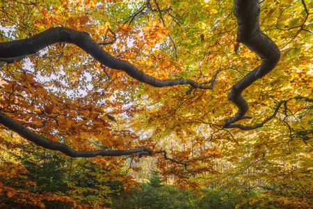 ideally: Majestic beech branches with orange leaves at autumn forest. Ideally as a background. Carpathians, Ukraine, Europe.
