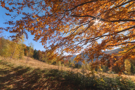 majestic mountain: Majestic beech leaves with sunny beams at mountain valley. Dramatic colorful evening scene. Carpathians, Ukraine, Europe.
