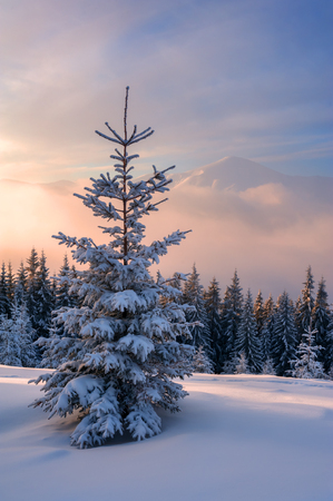 spruce tree: Fantastic winter landscape with dramatic sky and snowy trees. Carpathians, Ukraine, Europe.