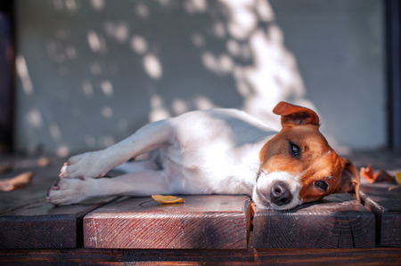 jack russel: jack russel on autumn porch Stock Photo