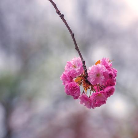 japanes: beauty sakura twig close up Stock Photo