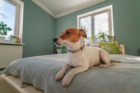 jack russel terrier on bed