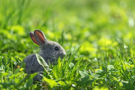 bunnie: grey rabbit in grass closeup