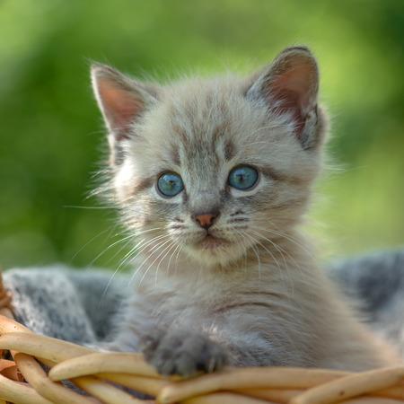 ojos verdes: gatito en la cesta de cerca Foto de archivo