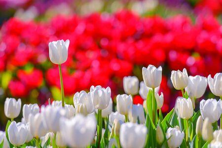 Tulips: white tulip field close up Stock Photo
