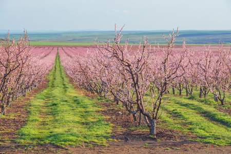 peach garden in blossom time