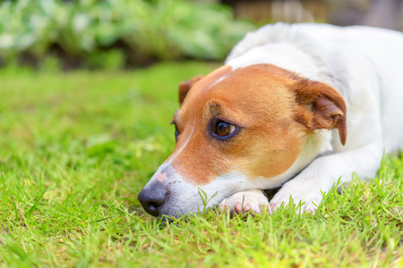 russel: sad jack russel on green meadow Stock Photo