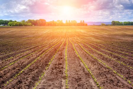 remolacha: campo de remolacha azucarera y de la puesta del sol