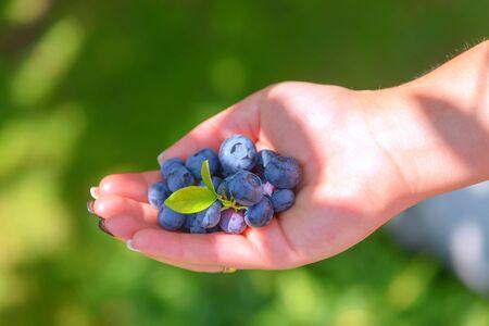 frescura: madura frescura de arándanos en manos muchacha Foto de archivo
