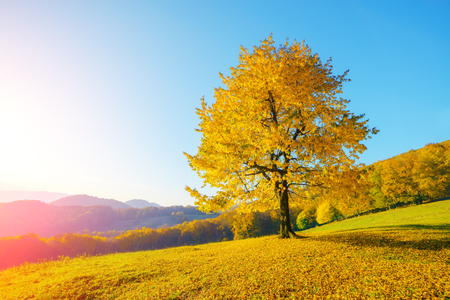 majestic mountain: Majestic beech tree with sunny beams at mountain valley. Dramatic colorful evening scene. Carpathians, Ukraine, Europe.