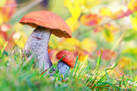 edible: mushroom in forest close up Stock Photo