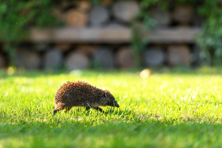 spiked hair: young hedgehog on green lawn