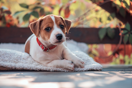 small dog: jack russel terrier on autumn terrace