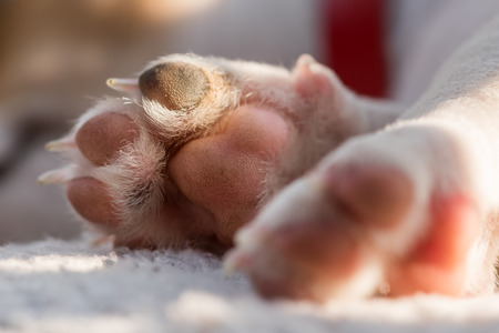 russel: jack russel puppys paw macro Stock Photo