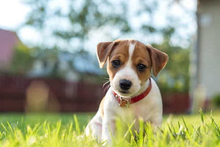 jack russel puppy on green lawn 스톡 콘텐츠
