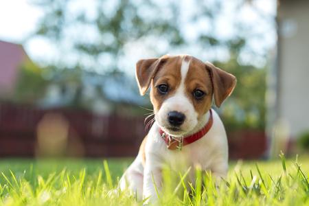 jack russel puppy on green lawn Foto de archivo