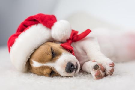 moños navideños: cachorro de gato Russel con la cinta roja Foto de archivo