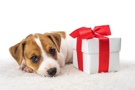 jack russel puppy met giftbox