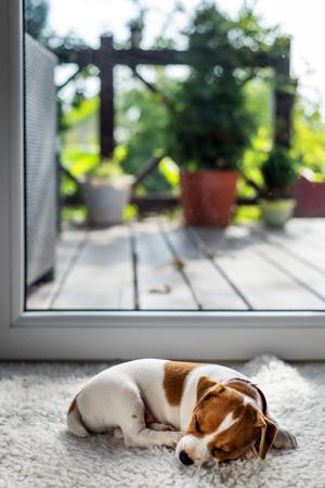 Jack Russel Welpen auf weißem Teppich Standard-Bild - 64391838