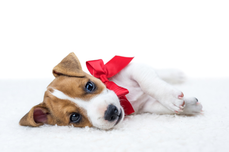 jack russel puppy with red ribbon Stockfoto