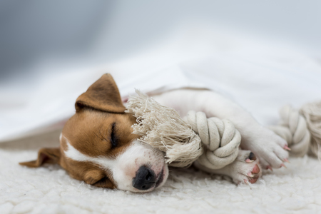 russel: jack russel puppy on white carpet