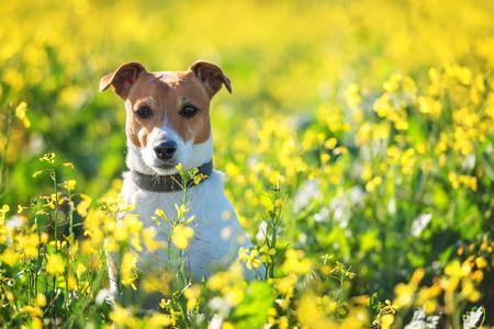 jack russel on flower meadow Stock Photo