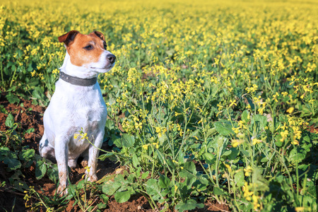 russel: jack russel on flower meadow Stock Photo