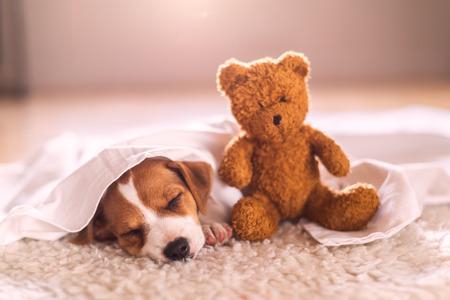 white carpet: jack russel puppy on white carpet