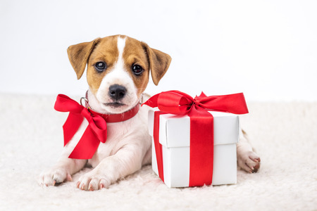 jack russel puppy with giftbox Stock Photo