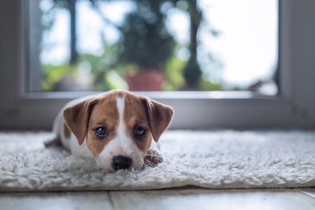 Cachorro jack Russel en la alfombra blanca Foto de archivo - 67651785
