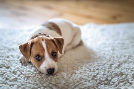 ジャック ラッセル子犬白いカーペットの上 写真素材