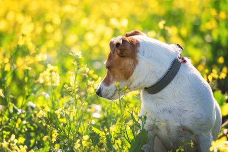 small dog: jack russel on flower meadow Stock Photo