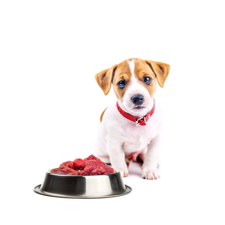 russel: jack russel puppy with food isolated on white Stock Photo