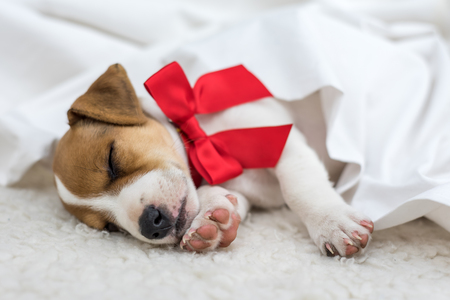 russel: jack russel puppy with giftbox Stock Photo