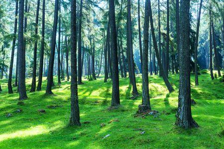 cuento de hadas del bosque abeto