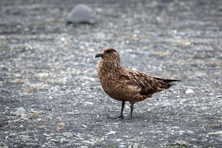 Skua bird in Iceland coast Stock Photo